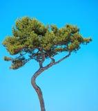 Maritieme Pijnboom gebogen boom op blauwe hemel. De Provence royalty-vrije stock afbeeldingen