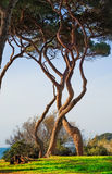 Maritieme Pijnboomboom verdraaide groep Baratti, Toscanië Stock Afbeeldingen