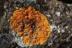 Maritiime sunburst lichen - Xanthoria parietina. Typical lichen in Iceland - found at the south west, at the peninsula Reykjanaes Royalty Free Stock Image