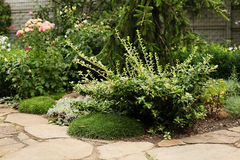 Maritima Armeria και ανάπτυξη euonymus κοντά στην πορεία κήπων που γίνεται Στοκ εικόνες με δικαίωμα ελεύθερης χρήσης