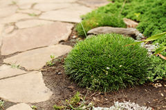 Maritima Armeria растя правый от пути сада сделанного из песка стоковые изображения rf
