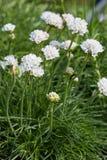 Maritima Armeria, thrift άσπρες λουλούδια και εγκαταστάσεις Στοκ εικόνες με δικαίωμα ελεύθερης χρήσης
