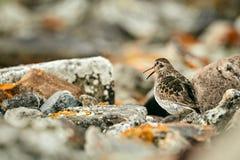 Maritima pourpre de Calidris de bécasseau sur la plage de Varangerfjord Un oiseau masquant entre les pierres Scène de faune de N photo libre de droits