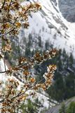 Cherry blossom in snowy Maritime Alps, France Stock Photos