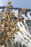 Cherry blossom branches in snowy Maritime Alps, France royalty free stock images