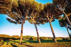 Maritime italian pine tree group. Baratti, Tuscany. Royalty Free Stock Photography