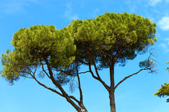 Maritime Pine on Blue Sky Royalty Free Stock Image