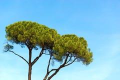 Maritime Pine on Blue Sky Stock Image