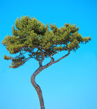 Maritime Pine curved tree on blue sky. Provence. Maritime Pine curved tree, Pinus Pinaster mediterranean plant, isolated on blue sky background. Juan les Pins Royalty Free Stock Images