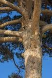 Maritime pine in Genoa Stock Image