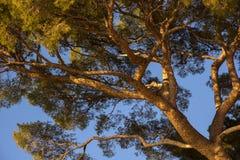 Maritime pine in Genoa Royalty Free Stock Photos