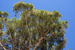 Maritime pine in Genoa Stock Photography