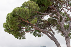 Maritime pine. Green maritime pine bent by the wind of the Ligurian Riviera Stock Image