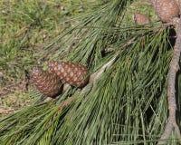 Maritime pine Royalty Free Stock Photo