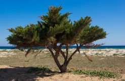 Maritime pine. Plant of a Maritime pine  on a beach Royalty Free Stock Images