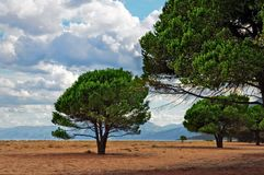 Maritime Pine on a Sardinian beach. Su Barone beach in Orosei and Maritime Pines, Sardinia, Italy Stock Images