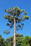 Maritime pine tree. Detail on blue sky in summer Royalty Free Stock Image