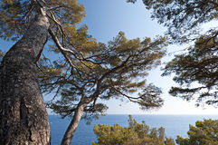 Maritime pine tree Royalty Free Stock Photo