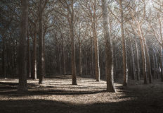 Maritime Pine tree forest or pinewood rays of light. Tuscany, It Stock Photo
