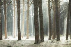 Maritime Pine tree forest, rays of light. Tuscany, Italy Royalty Free Stock Photos