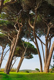 Maritime Pine tree group. Baratti, Tuscany. Stock Photography