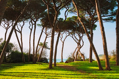 Maritime Pine tree group. Baratti, Tuscany. Stock Images