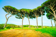 Maritime Pine tree group. Baratti, Tuscany. Stock Image
