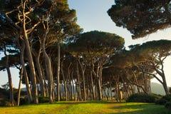 Maritime Pine tree group. Baratti, Tuscany. Royalty Free Stock Photography