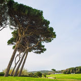 Maritime Pine tree group. Baratti, Tuscany. Royalty Free Stock Photo