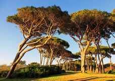 Maritime Pine tree group. Baratti, Tuscany. Stock Photo