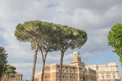 Maritime Pine tree group near Rome. Italy Stock Images