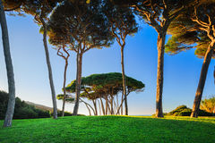Maritime Pine tree group near sea and beach. Baratti, Tuscany. Royalty Free Stock Photo