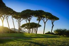 Maritime Pine tree group near sea and beach. Baratti, Tuscany. Royalty Free Stock Photography