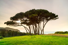 Maritime Pine tree group near sea and beach. Baratti, Tuscany. Royalty Free Stock Photos