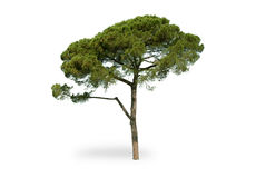 Maritime pine. On white background Stock Photos
