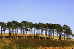 Maritime Pines. A row of maritime pine trees, south coast UK royalty free stock photo