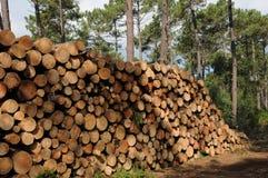 Maritime pines in La foret des Landes Royalty Free Stock Images