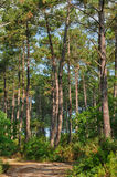 Maritime pines in La foret des Landes Royalty Free Stock Photography