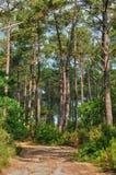 Maritime pines in La foret des Landes Stock Image