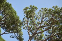 View of maritime pines. Maritime pines shot during summertime royalty free stock image