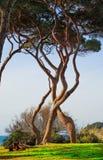 Maritimt sörja den vridna gruppen för trädet Baratti Tuscany arkivbilder