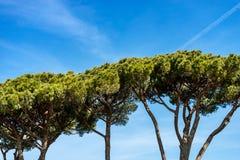 Maritimt sörja träd i medelhavs- region - Rome royaltyfri bild