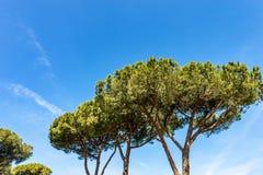 Maritimt sörja träd i medelhavs- region arkivbilder