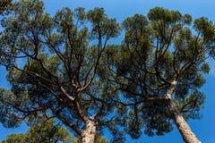 Maritimt sörja träd i medelhavs- region - underifrån royaltyfria foton