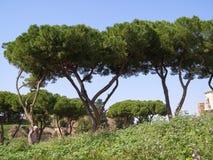 maritimt sörja trädet (för Pinuspinaceaen) i Rome royaltyfri foto