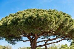Maritimt sörja trädet i medelhavs- region - Rome arkivfoto