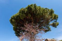Maritimt sörja trädet på en klar blå himmel - Ostia Antica Rome royaltyfria foton