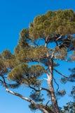 Maritimt sörja trädet på klar blå himmel arkivfoto
