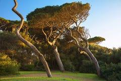 Maritimt sörja trädgruppen Baratti Tuscany arkivfoto