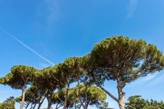 Maritimt s?rja tr?d i medelhavs- region - Rome royaltyfri foto